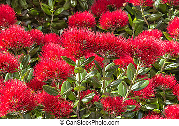 New Zealand Christmas tree red flowers in bloom