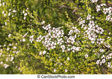 New Zealand teatree bush with white flowers in bloom