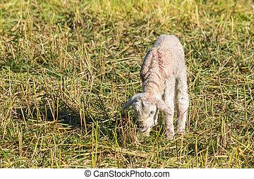 newborn lamb grazing on meadow