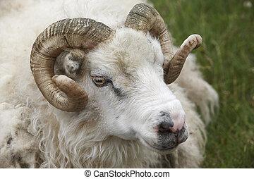 Closeup of one Icelandic Big Horn Sheep. Seydisfjordur. -...