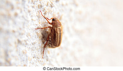 closeup of one maybug on a wall - closeup of one maybug on a...