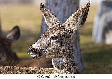 Closeup of one Mule Deer in woods