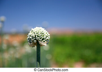 Closeup of onion flower with seeds over blue and green background. Soft focus, shallow depth of field