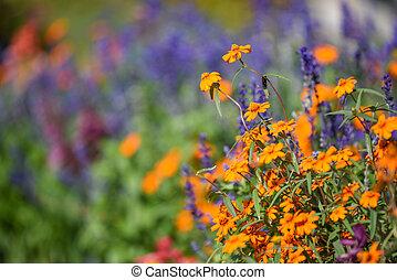 orange cosmos flower in the garden