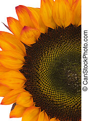 closeup of orange sunflower