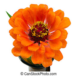 orange zinnia violacea flower