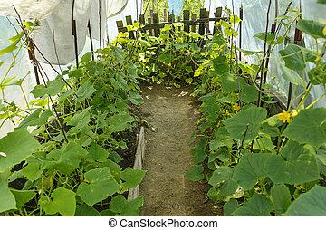 organic cucumbers in a greenhouse