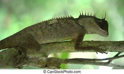 Oriental Garden Lizard on the tree - Closeup of Oriental...