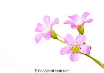 oxalis corniculata flowers - closeup of oxalis corniculata ...