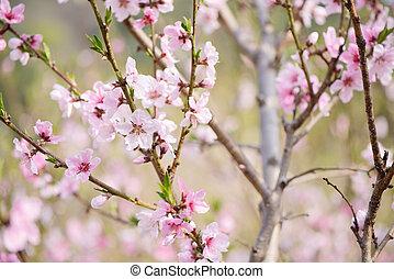 Closeup of peach blossom in full bloom