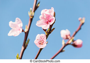 peach tree flowers and buds against blue sky