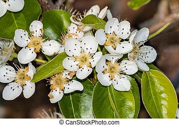 pear tree flowers in bloom