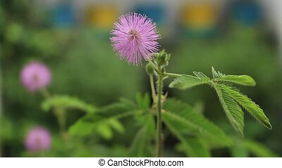 Closeup of perfect bloom of sensitive plant gently blowing in the wind. Mimosa pudica, sleepy plant or touch me not.