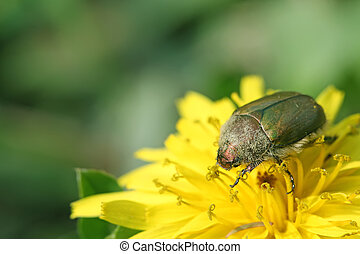cockchafer on a flower in the wild