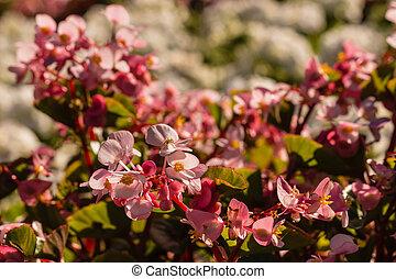 pink begonia flowers in bloom