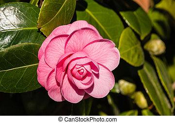 pink camellia flower in bloom
