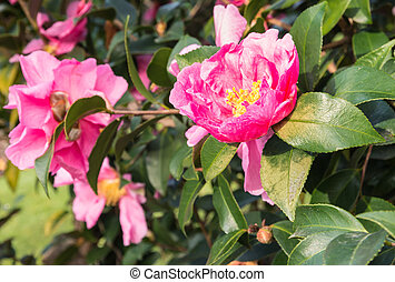pink camellia flowers in bloom with blurred background and copy space