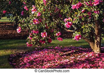 pink camellia shrub in bloom