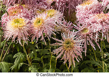 pink chrysanthemum flowers in bloom