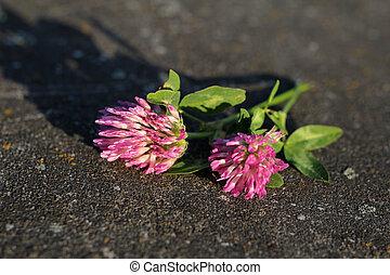 closeup of pink clover flower