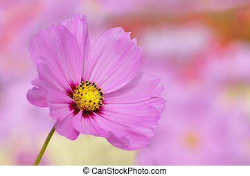 Closeup of pink cosmos flower