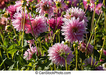 pink dahlia flowers in bloom
