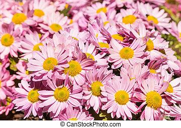 pink daisy chrysanthemum flowers in bloom