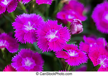 Closeup of pink Dianthus Chinensis Flowers