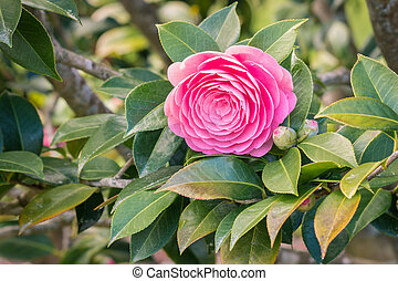 pink double-flowered camellia flower in bloom with blurred ...
