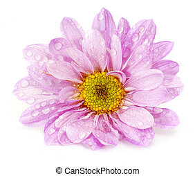 Closeup of pink flower on white background