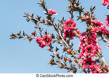 pink manuka flowers in bloom against blue sky