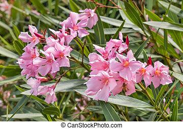 pink oleander flowers in bloom