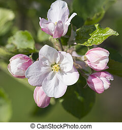 closeup of pink spring apple blossoms with green background