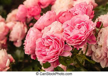 pink tea roses in bloom - closeup of pink tea roses in bloom