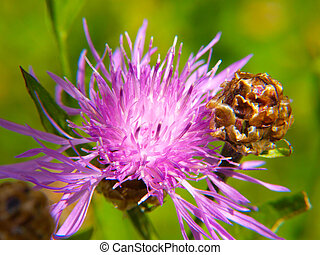 Closeup of pink thistle flower, towards green