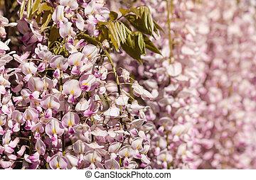 pink wisteria flowers in bloom
