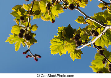 closeup of platanus tree leaves