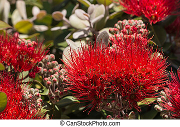 pohutukawa flowers and buds - closeup of pohutukawa flowers ...