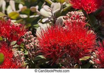 closeup of pohutukawa flowers and buds