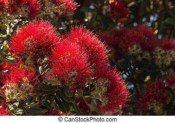 closeup of Pohutukawa tree flowers
