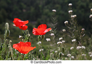 closeup of poppies in a field