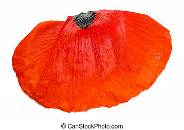closeup of poppy petal on white background