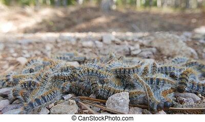 Closeup of processionary caterpillar - 4k macro of...