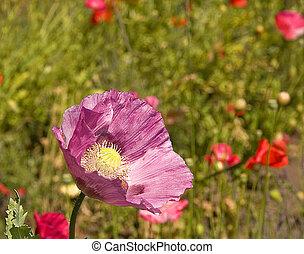 Closeup of Purple Poppy