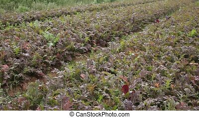 View of field planted with ripening organic red mizuna. Growing of industrial leaf vegetable cultivars