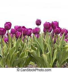 closeup of purple tulips in dutch flower field