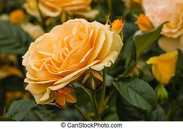 queen amber rose flowerhead