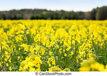 Closeup of rapeseed during spring