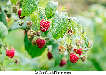 Closeup of raspberry branch with ripe berries in sunlight. Shall
