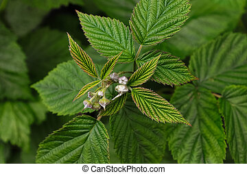 Closeup of raspberry leaves with unopened flower buds